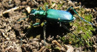 photo of a green beetle