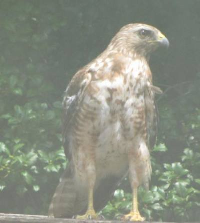 photo of Red shouldered hawk