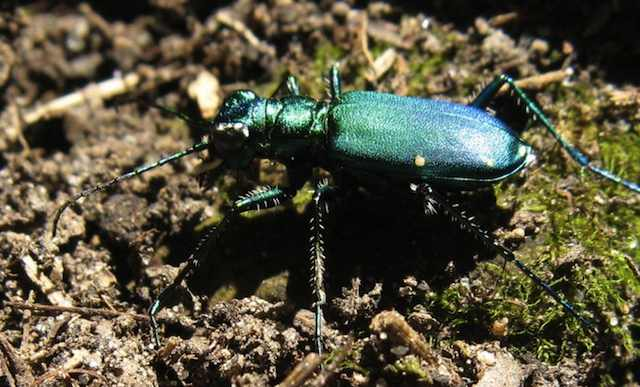 photo of an iridescent green beetle