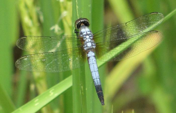 photo of a blue dragonfly with wings spread on rice plant