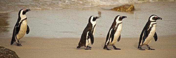 photo of 4 penguins marching on a beach in South Africa