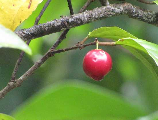 photo of a red berry and leaves