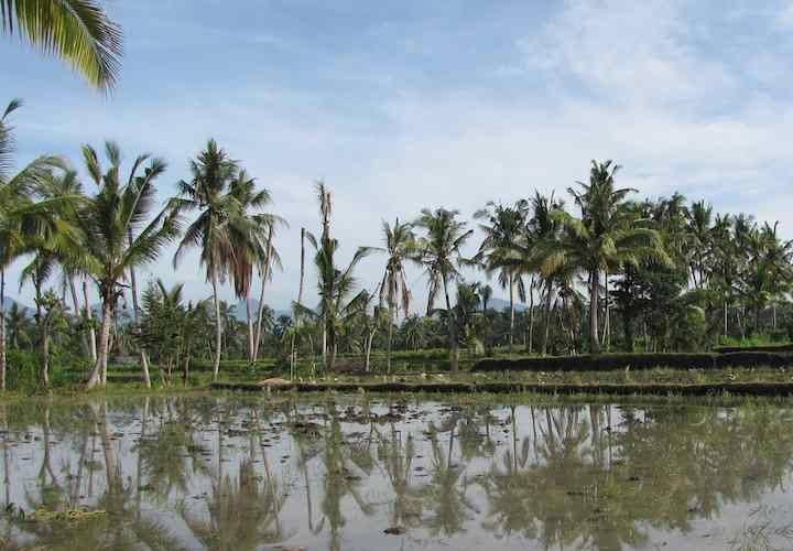 photo of rice field with palm trees in the background, Ubud, Bali, Indonesia